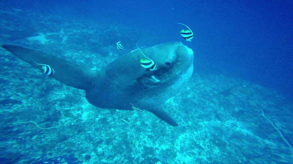 Mola Mola plongée Nusa Penida Warnakali