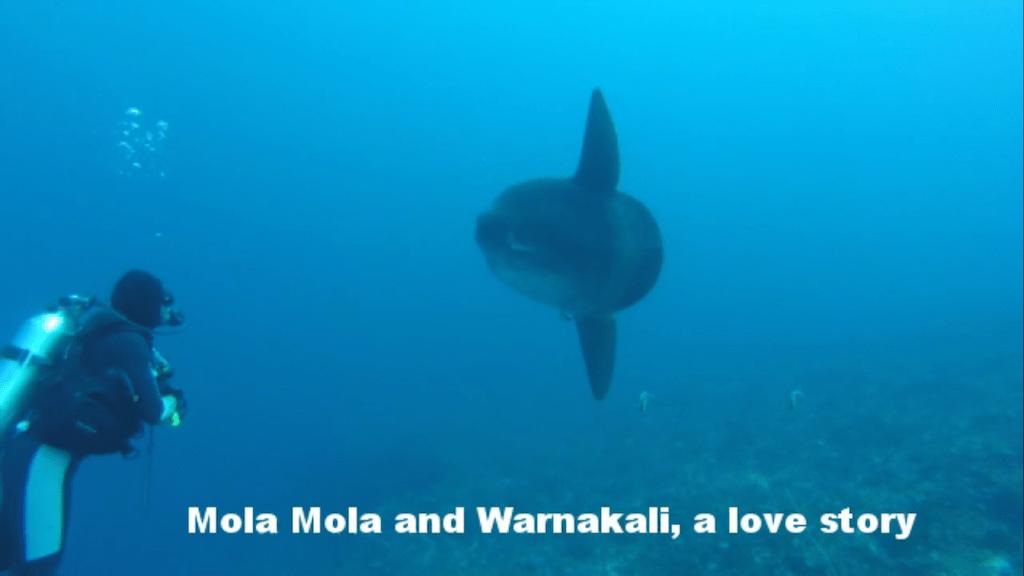 Mola Mola Warnakali Crystal Bay Nusa Penida
