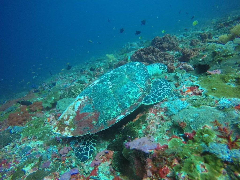 Tortue Gamat Bay Nusa Penida Nusapenida